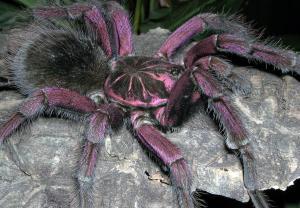 Spiders tarantula