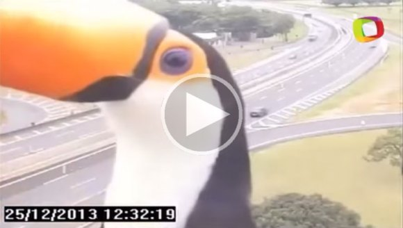 toucan-photobombs-traffic-camera-in-brazil[1]