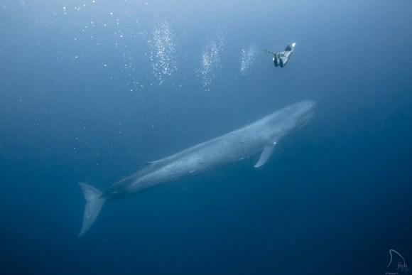 Mergulhando com baleias 16