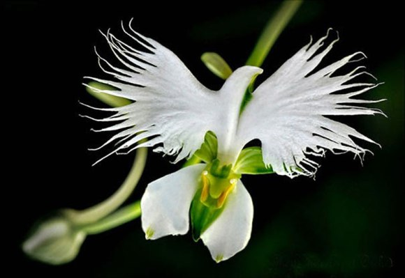 White-Egret-Orchid-Habenaria-Radiata-17-Flowers-That-Look-Like-Something-Else1[1]