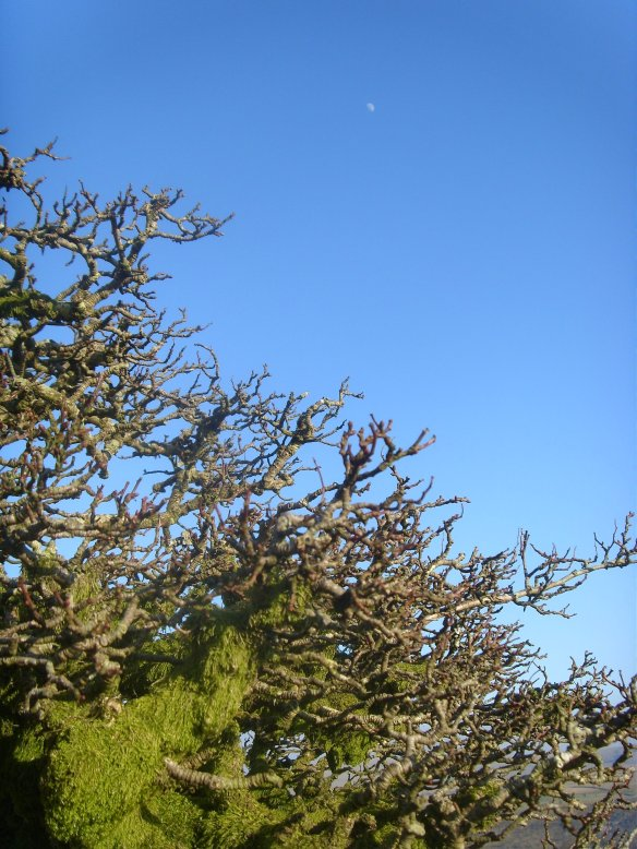 Dartmoor Hawthorn under waxing gibbous Moon.