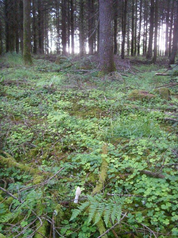 Stinkhorn - Phallus impudicus - Something about Dartmoor