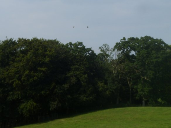 Buzzards circle over a copse