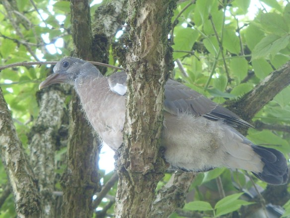 Wood Pidgeon Squab in Mother Elder - Something about Dartmoor