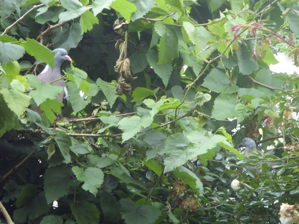 Wood Pigeon and Squab in the Mulberry bush - Something about Dartmoor
