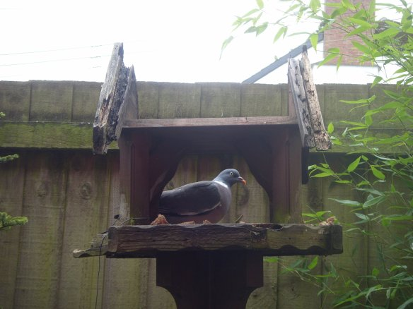 Wood Pigeon filling my roofless bird table - time and the elements - and a 'Squirrel' are responsible for its state of dilapidation.