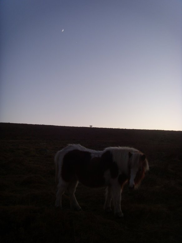 dartmoor-pony-on-walkhampton-common-dartmoor-something-about-dartmoor