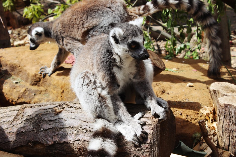 in-with-the-lemurs-zsl-london