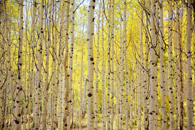 Gorgeous trees in Aspen