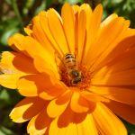Calendula with a Bee SongCroft Naturals