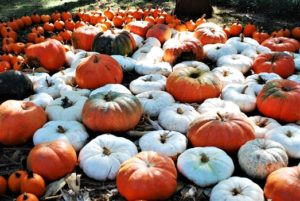 Filed of big orange and smaller white pumpkins