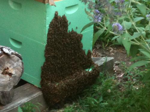 Bearding Bees
