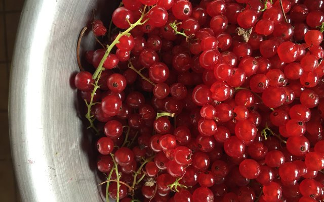 The Red Currant Harvest: Nearly 5 Pounds