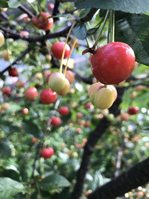 Garden Update: Hydrangeas, Cherries