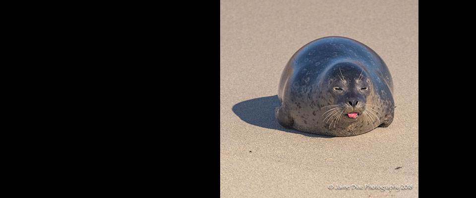 Seal from La Jolla Outing – By Jaime Diaz