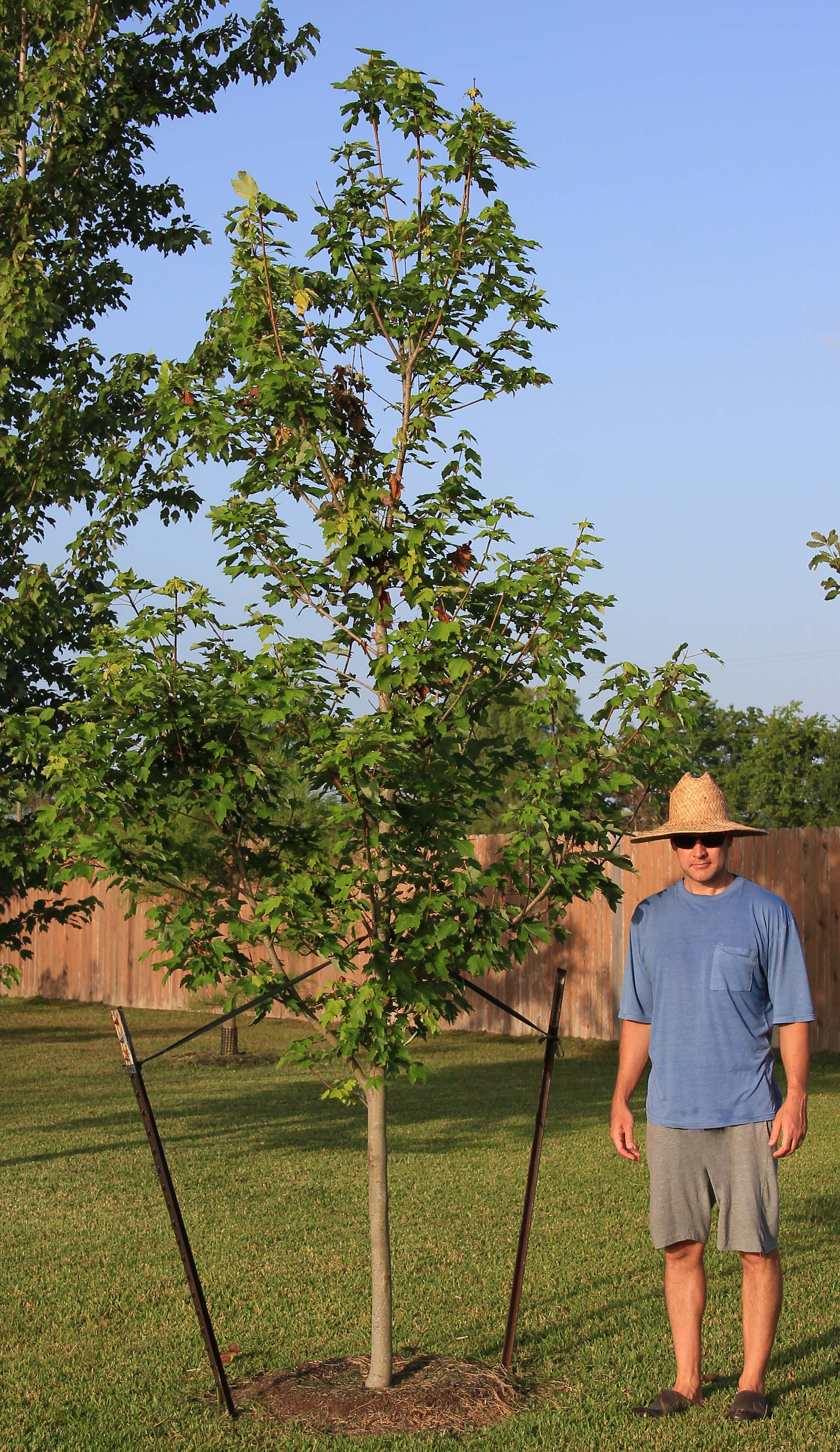 Genial Sale October Glory Maple Summer Red Maple Og July 2 2016 Edited 1 1 October Glory Maple houzz-03 October Glory Maple