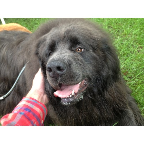 Medium Crop Of Big Fluffy Dogs