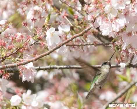 Humming Bird, Mount Tabor, Oregon