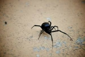 black-widow-spider_21113635