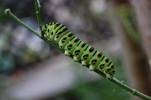green-caterpillar-381815_640