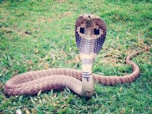 king-cobra-405623_640