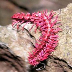 pink doragon