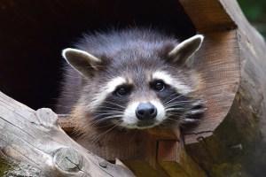 raccoon-853830_640
