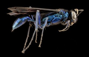 blue-mud-wasp-1098913_640