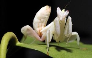orchidmantis10