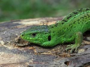 sand-lizard-63185_640