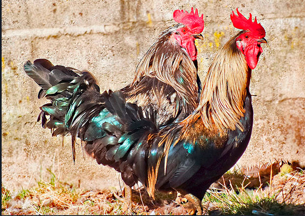 Gallos del Curueño / Foto de Rosa y Rafa