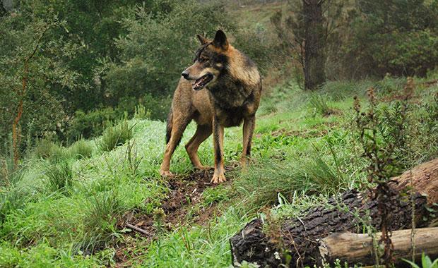 Lobo en la Sierra de la Culebra (Zamora)