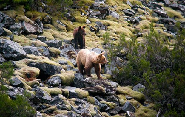 Dos ejemplares de oso pardo cantábrico