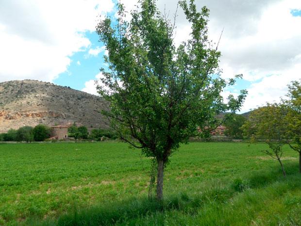 Peral limón de Albarracín (Teruel)