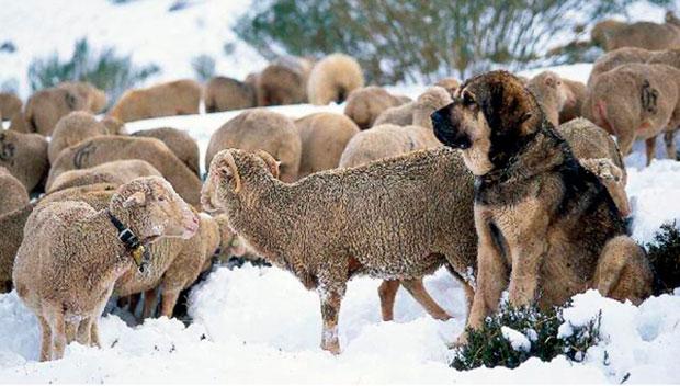 Un mastín al cuidado de las ovejas
