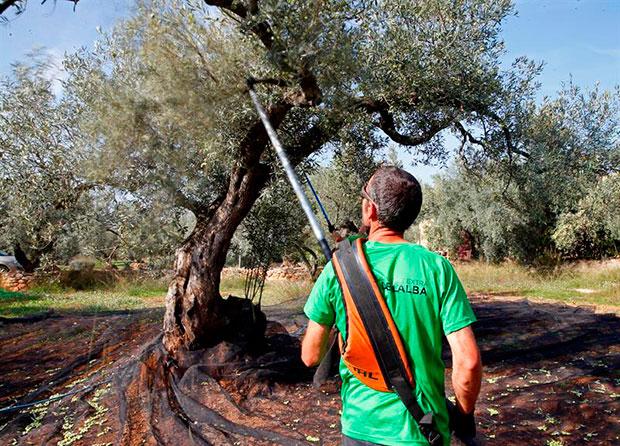 Oli Coll de l´Alba olivos aceitunas aceite