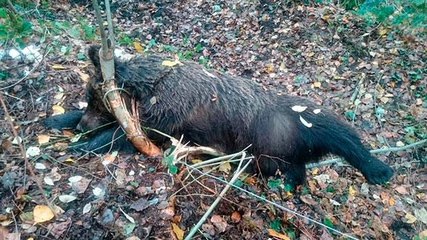 La osa apareció muerta con una lazo de cable de acero al cuello en Cariseda