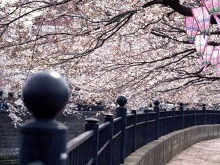 大岡川プロムナードの桜写真2