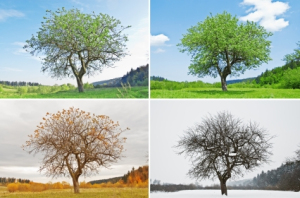 iStock_000008708575XSmall_Tree_FourSeasons