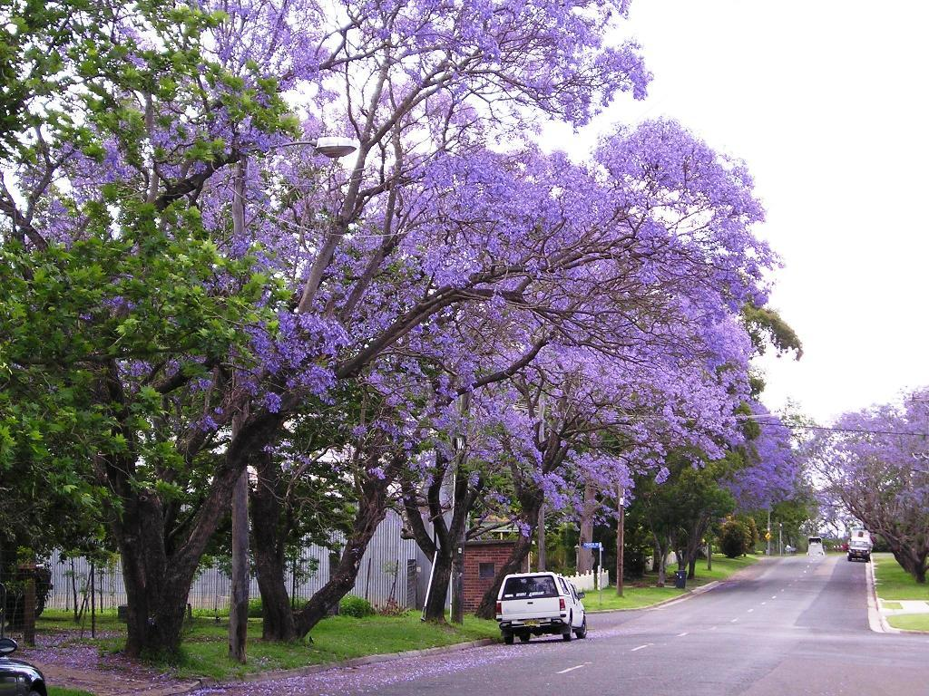 Lovable Purple Flowers Makem Jacaranda Trees Spain Delicate Fern Like Leaves Purple Flowers Most Trees That People Loveto Because Delicate Leaves Blue Jacaranda Tree Is One houzz-03 Purple Flowering Tree