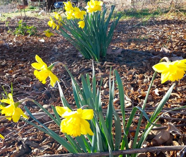 Daffodils Oak Glen