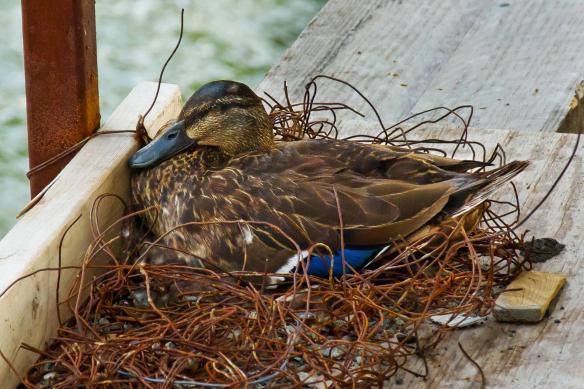 Duck's nest on Tower Five.