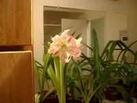 amaryllis jungle