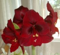 Amaryllis from Dad
