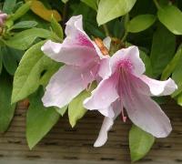 Azaleas with rhodo-type flowers