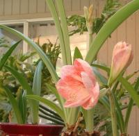 amaryllis on the back patio