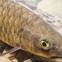 Mahseer Fishing and Sabah Borneo Fly-Fishing Conclave