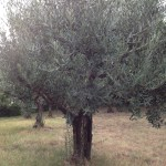 The Old Olive Tree