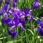 Easy To Grow Siberian Iris!