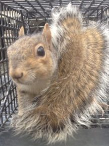 Squirrel Trapped in Alpharetta